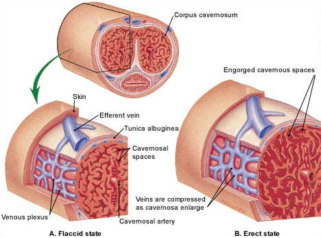 ED-Stem-Cell-Therapy